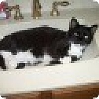 Domestic Shorthair Cat for adoption in Tempe, Arizona - Tuck