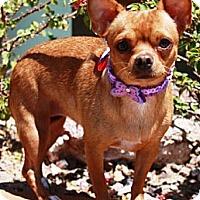 Adopt A Pet :: Reign - Gilbert, AZ