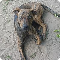 Adopt A Pet :: Scar - West Hartford, CT