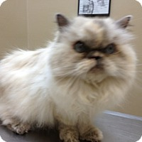 Adopt A Pet :: Lacey - Beverly Hills, CA