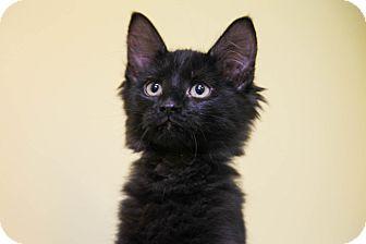 Domestic Longhair Kitten for adoption in Larned, Kansas - Johnny