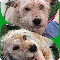 Adopt A Pet :: Lucy (CP Bonded Pair) - Porter Ranch, CA
