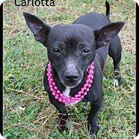Adopt A Pet :: Carlotta - Houston, TX