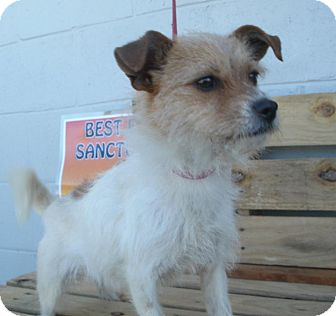 Terrier (Unknown Type, Small) Mix Dog for adoption in Jamestown, Tennessee - Macey