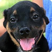 Adopt A Pet :: Cookie - Glastonbury, CT