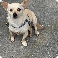 Chihuahua Mix Dog for adoption in Alhambra, California - Coconut