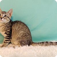 Domestic Shorthair Kitten for adoption in Roanoke, Texas - Ivy