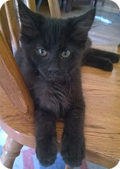 Domestic Mediumhair Kitten for adoption in Wamego, Kansas - Rambo