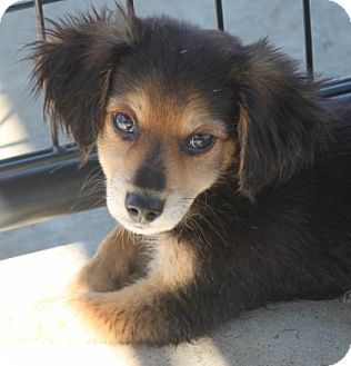 Spaniel (Unknown Type)/Dachshund Mix Puppy for adoption in Jewett City, Connecticut - Scamp - Adopted