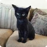 Bombay Kitten for adoption in Mission Viejo, California - Manny