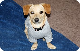 Dachshund/Terrier (Unknown Type, Small) Mix Dog for adoption in Yorba Linda, California - Chance - I love to play!