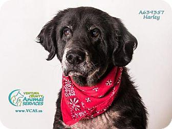 Gordon Setter/Labrador Retriever Mix Dog for adoption in Camarillo, California - HARLEY
