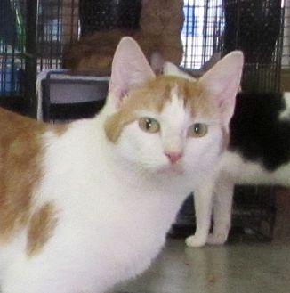 Domestic Shorthair Cat for adoption in Jackson, Missouri - Bruce