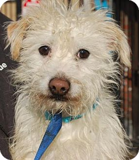 Terrier (Unknown Type, Small) Mix Dog for adoption in Brooklyn, New York - Gus