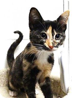 Domestic Shorthair Kitten for adoption in san diego, California - Cat Benetar