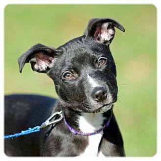Chihuahua/Rat Terrier Mix Puppy for adoption in Cleveland, Ohio - Boo