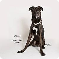 Adopt A Pet :: BEAU - Corona, CA
