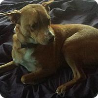 Adopt A Pet :: Cinnamon - Eustace, TX