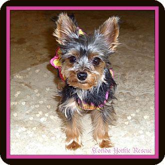 Yorkie, Yorkshire Terrier Dog for adoption in Palm City, Florida - ZuZu