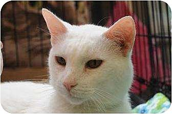 Turkish Angora Cat for adoption in New York, New York - Tin Tin