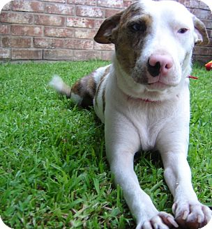 Australian Cattle Dog/Husky Mix Dog for adoption in Houston, Texas - Mama Lucia