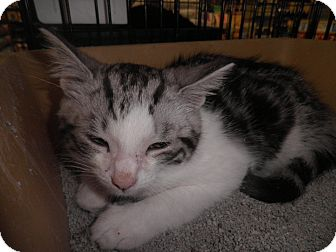Domestic Shorthair Kitten for adoption in Warren, Michigan - Xavier