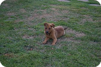 Belgian Shepherd/Golden Retriever Mix Puppy for adoption in North Brunswick, New Jersey - JOJO