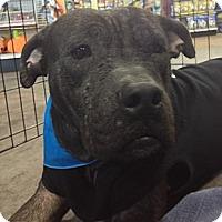 Adopt A Pet :: Luna - Hollywood, FL