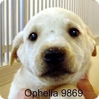 Adopt A Pet :: Ophelia - baltimore, MD