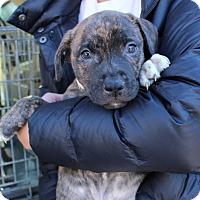Adopt A Pet :: Rizzo - Atlanta, GA