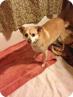 Chihuahua Mix Dog for adoption in Poland, Indiana - Big Buddy
