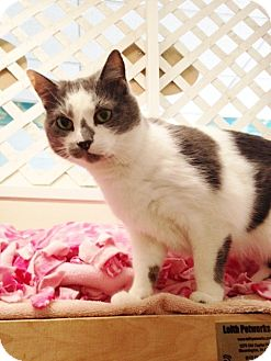 Domestic Shorthair Cat for adoption in Chicago, Illinois - Alessa