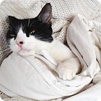 Adopt A Pet :: Selina Kyle - New York, NY