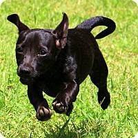 Adopt A Pet :: Lexi~ meet me! - Glastonbury, CT