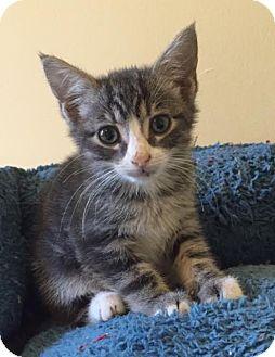 Domestic Shorthair Kitten for adoption in Smyrna, Georgia - Maya