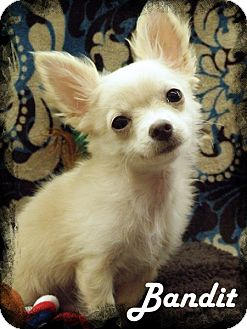 Chihuahua Puppy for adoption in Anaheim Hills, California - Bandit