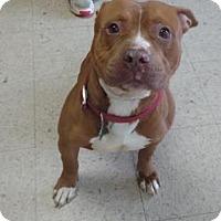American Pit Bull Terrier Mix Dog for adoption in Ashtabula, Ohio - Flex