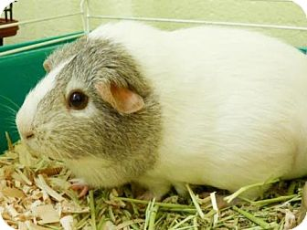 Guinea Pig for adoption in Millersville, Maryland - Asia