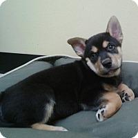 Adopt A Pet :: Akira - Thousand Oaks, CA