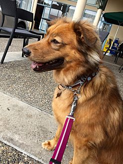 Chow Chow/Shepherd (Unknown Type) Mix Dog for adoption in San Francisco, California - Mia