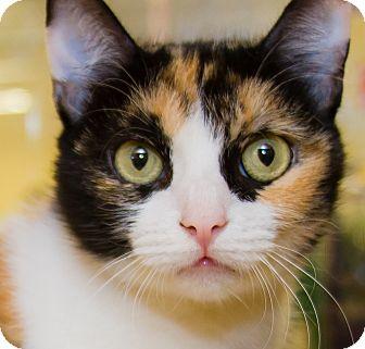 Calico Cat for adoption in Irvine, California - Leia
