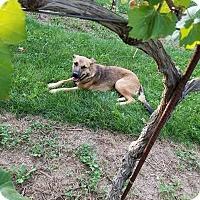 Adopt A Pet :: Ava - DeForest, WI