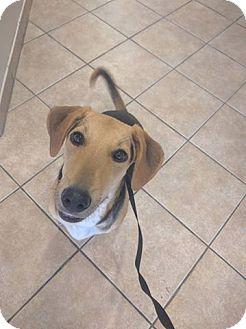 Beagle/Hound (Unknown Type) Mix Dog for adoption in Windermere, Florida - Annie