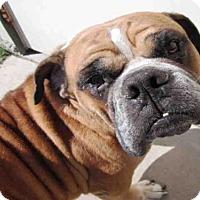 English Bulldog Dog for adoption in Plano, Texas - BRUTUS