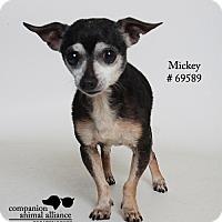 Adopt A Pet :: Mickey  (Foster) - Baton Rouge, LA