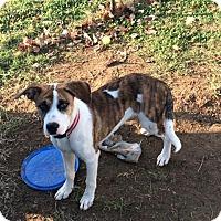 Adopt A Pet :: Chewbaca - Aurora, CO
