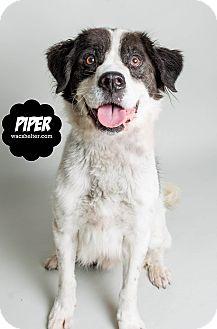 St. Bernard/Labrador Retriever Mix Dog for adoption in Wyandotte, Michigan - Piper