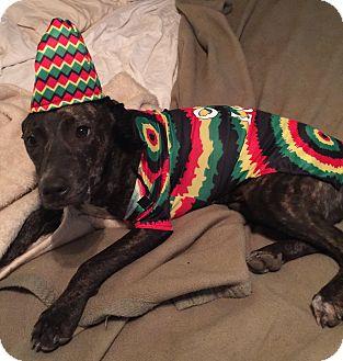 Terrier (Unknown Type, Medium)/American Bulldog Mix Dog for adoption in Carlisle, Pennsylvania - Lil'bit