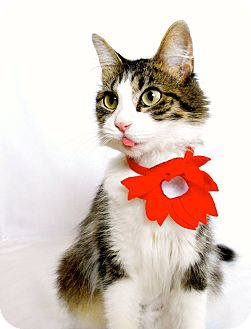 Domestic Mediumhair Cat for adoption in St. Charles, Missouri - Emma