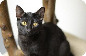 Domestic Shorthair Kitten for adoption in Atlanta, Georgia - Rivka 161627